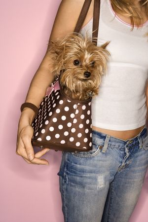 designer bag: Caucasian young adult female with Yorkshire Terrier dog in bag. Stock Photo
