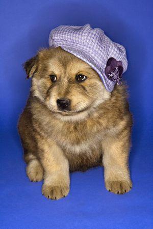 newsboy cap: Puppy wearing purple hat on blue background.