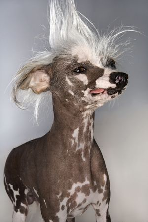 crested: Chinese Crested dog portrait.