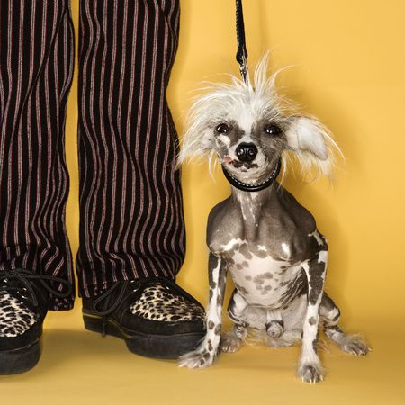 Chinese Crested dog on leash standing next to mans legs.