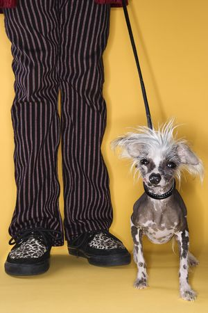 animal body part: Chinese Crested dog on leash standing next to mans legs.