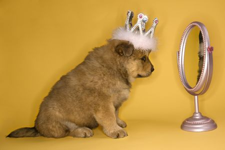 self conceit: Puppy wearing crown in front of mirror. Stock Photo