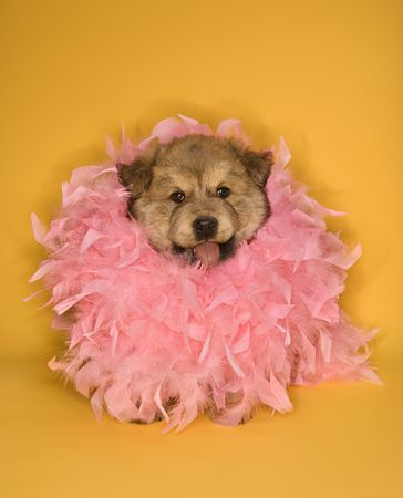 feather boa: Puppy wearing pink feather boa.