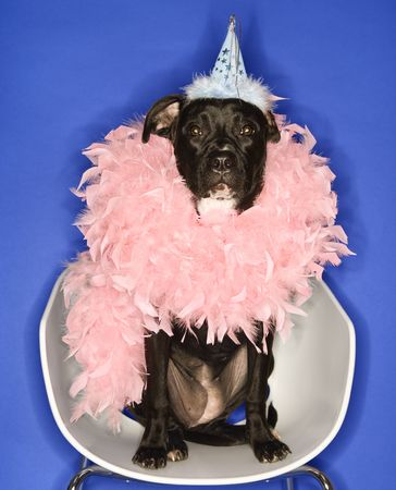 feather boa: Black mixed breed dog wearing party hat and feather boa.