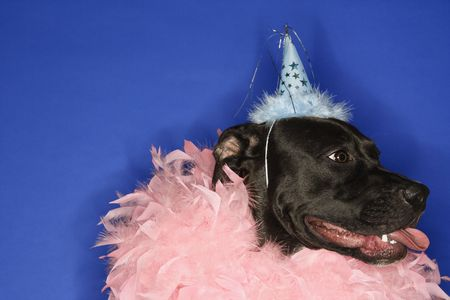 Black mixed breed dog wearing party hat and feather boa. photo
