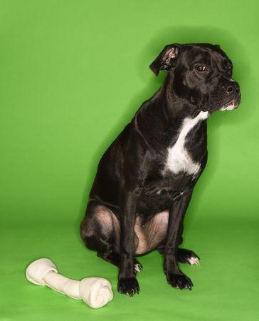 Black and white mixed breed dog sitting with big rawhide bone. photo