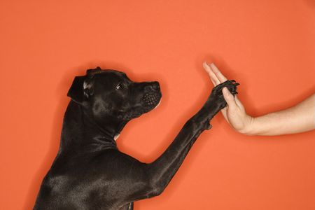 shake hands: Black mixed breed dog giving female young adult Caucasian a high five.
