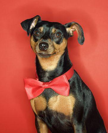 Miniature Pinscher dog wearing red bowtie sitting against red background. photo