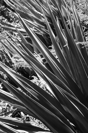 yucca: Close-up black and white of yucca plant.