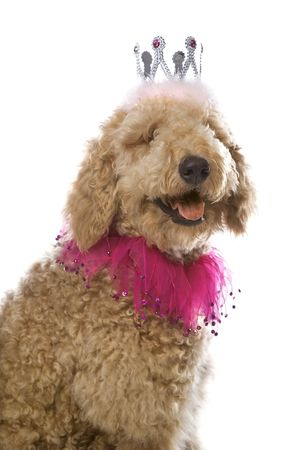 perros vestidos: Goldendoodle perro llevaba corona.