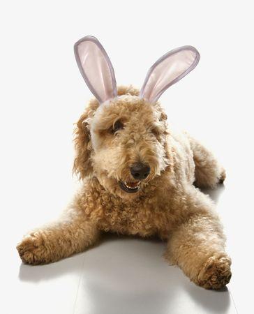 bunny ears: Goldendoodle perro en conejo orejas. Foto de archivo