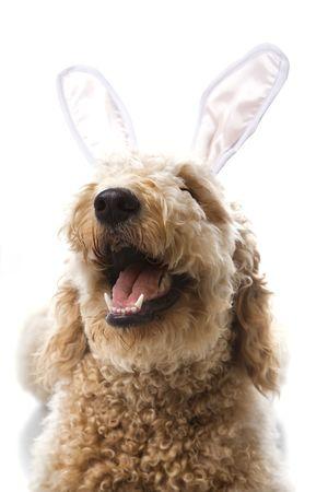 bunny ears: Goldendoodle perro en conejo orejas.