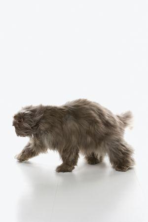 Gray Persian cat walking. photo