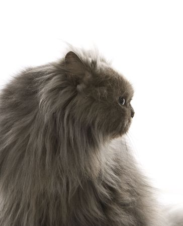 Gray Persian cat looking to side. photo
