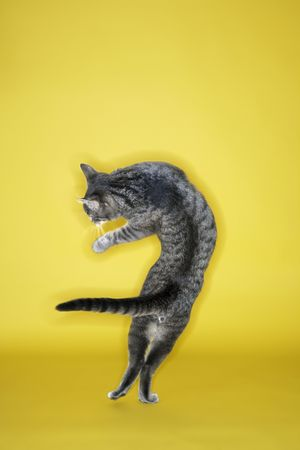hopping: Gray striped cat twisting in air on yellow background.
