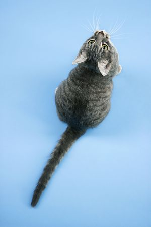 gray cat: High angle view of gray striped cat looking up. Stock Photo