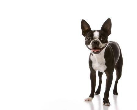 boston terrier: Boston Terrier dog. Stock Photo