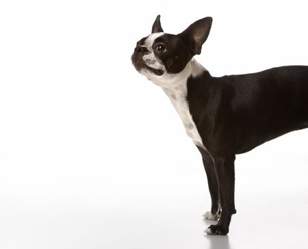 Boston Terrier dog. photo