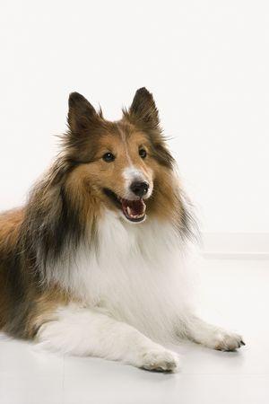 lassie: Collie dog.