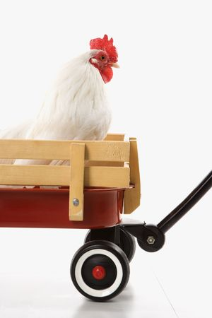 Old English Bantam Rooster in red wagon. photo