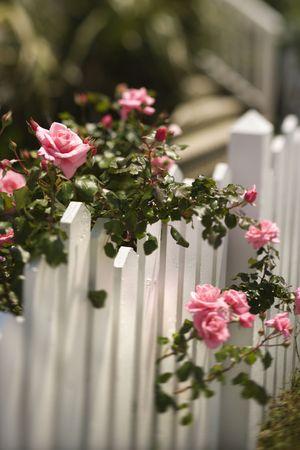 cerca blanca: Pink rosas blancas cada vez m�s cerca de piquetes.