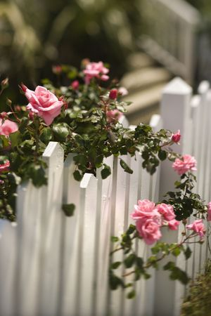 roses garden: Pink roses growing over white picket fence.