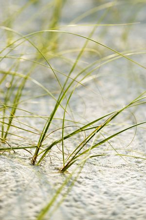 bald head island: Beach grass in sand on Bald Head Island, North Carolina.