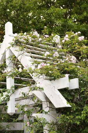 Arbor with blooming rose vine. Stock Photo - 2214205
