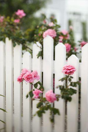 Rose bush growing over white picket fence. Stock Photo