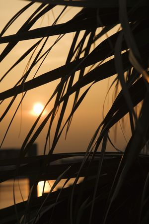 bald head island: Palm frond silhouette against sunset on Bald Head Island, North Carolina.