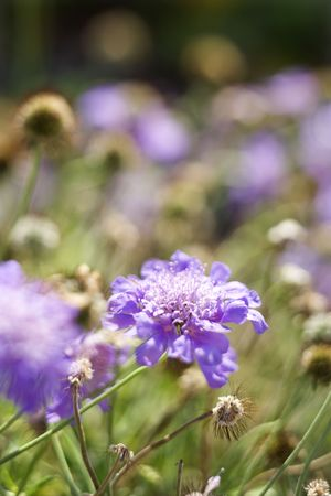 flowering plant: Viola la fioritura delle piante.
