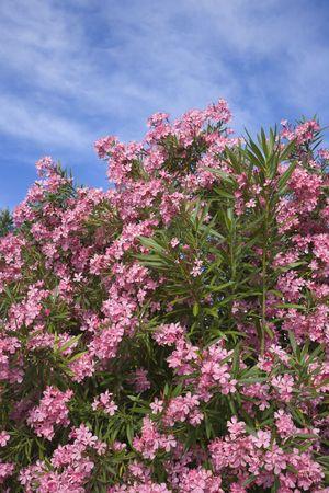 Flowering pink Oleander bush against blue sky. photo