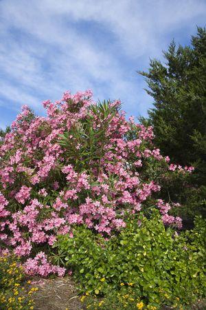 Flowering pink Oleander bush. photo
