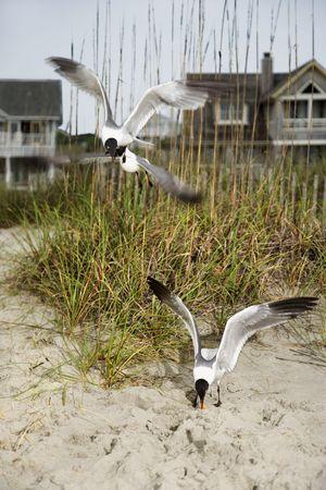 swoop: Seagulls swooping down onto beach.