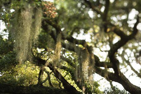 bald head island: Spanish moss hanging from live oak tree on Bald Head Island, North Carolina. Stock Photo