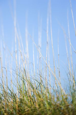 bald head island: Scenic grass at beach with blue sky.