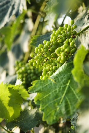viticulture: Clusters of green grapes on a vine with leaves in Tuscany, Italy.