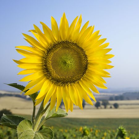 Close-up of one sunflower growing in field in Tuscany, Italy. Stock Photo - 2235525