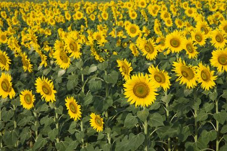 Sunflower field in Tuscany, Italy. photo