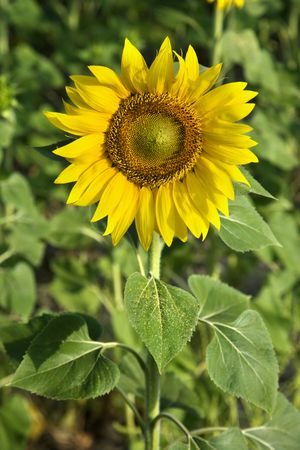 One sunflower growing in a field in Tuscany, Italy. photo