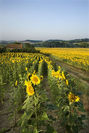 Rows of sunflowers growing in fields with barn and countryside in background in Tuscany, Italy. photo
