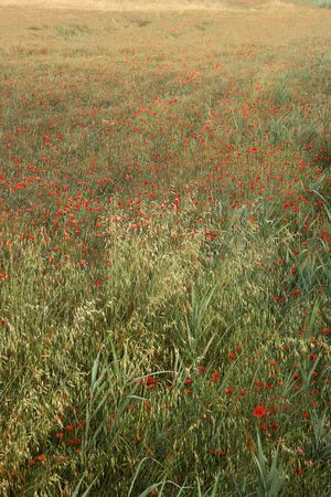 Field of poppies growing in Tuscany, Italy.  photo