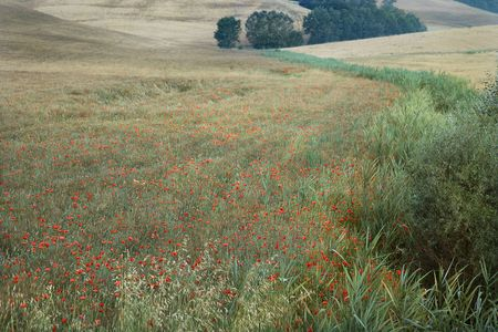 Field of poppies growing in countryside in Tuscany, Italy.  photo