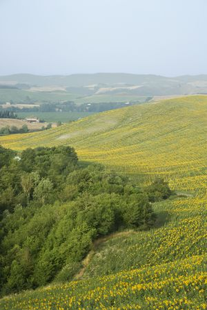 Sunflower fields and rolling hills in countryside of Tuscany, Italy. photo