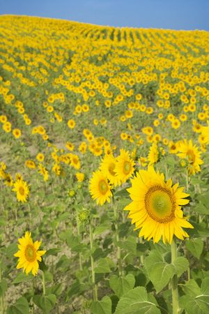 Sunflowers growing in field in Tuscany, Italy. photo