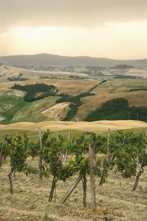 Tuscan vineyard with rolling hills in distance. photo