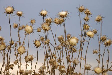 Thistle plants, Tuscany, Italy. photo