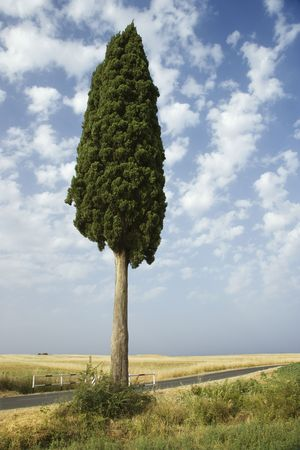 One cypress tree in field in Tuscany, Italy. photo