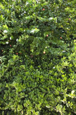 jasmine bush: Green lush Jasmine bush