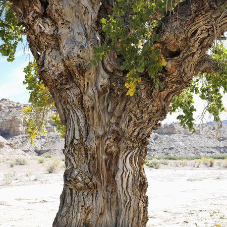 Gnarly trunk of Cottonwood tree in desert Cottonwood Canyon, Utah. Stock Photo - 2236969